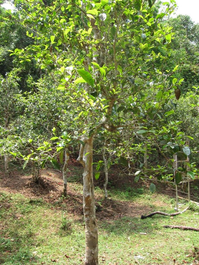 500 year old wild tea tree.