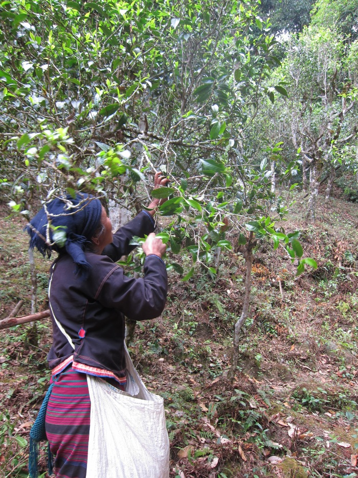One of the tea pickers let us take her photo.