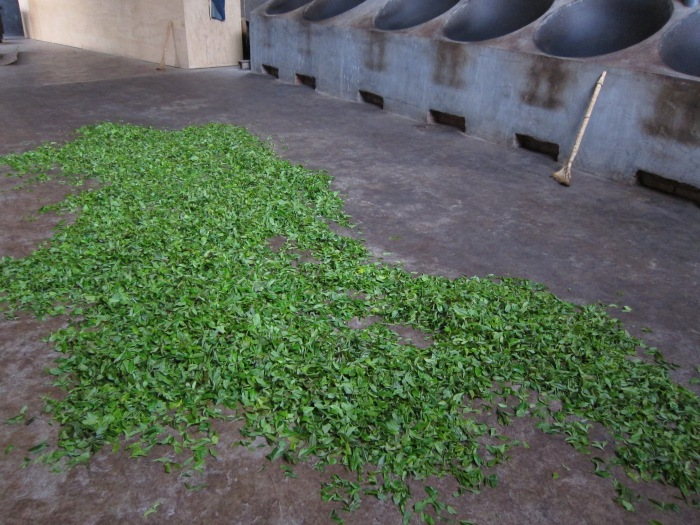 After they are picked, the tea leaves are left to wither a bit.