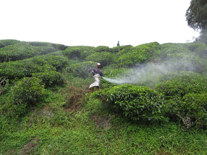 Workers spraying pesticide on a monoculture tea plantation I visited in 201.