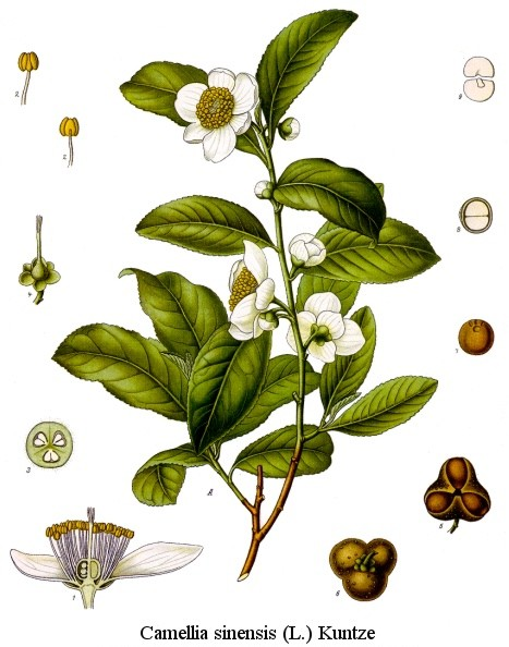 Camellia_sinensis_drawing