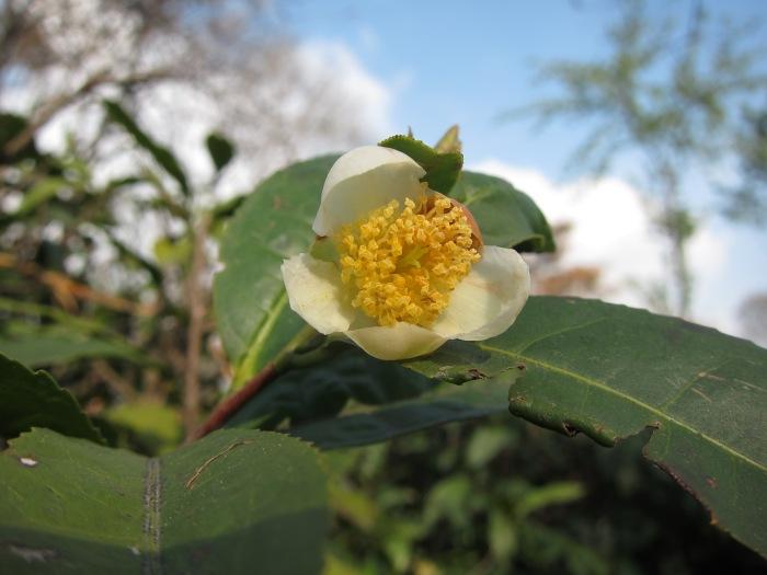Tea flower.
