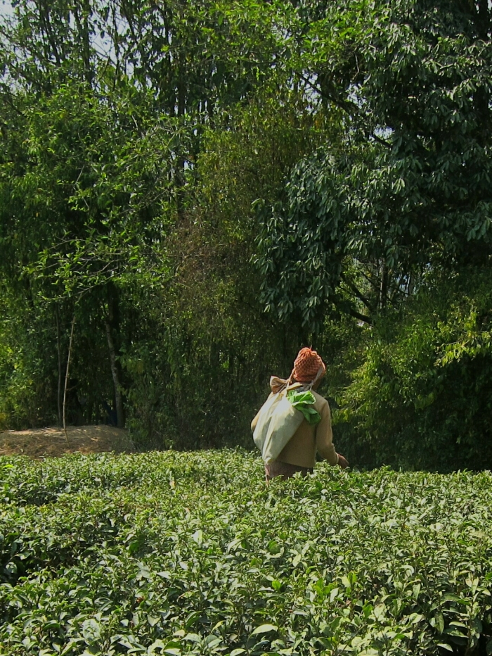 Tea plucker, Happy Valley Tea Estate.