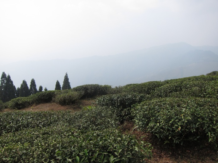 Dooteriah Tea Estate, in the Darjeeling mist.