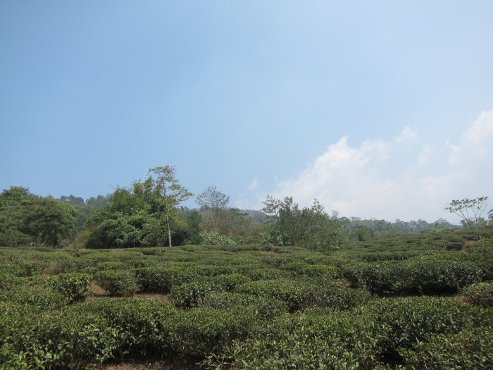 Dooteriah Tea Estate.