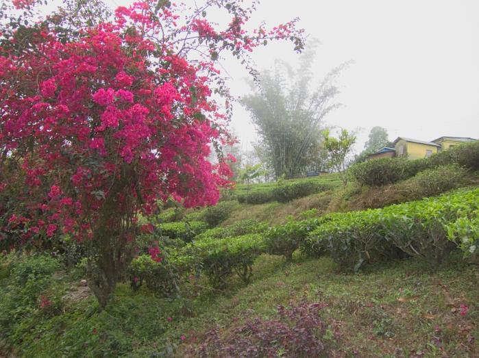 Makaibari Tea Estate.