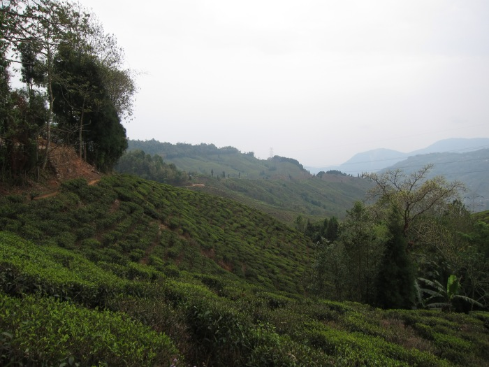 Thurbo Tea Estate