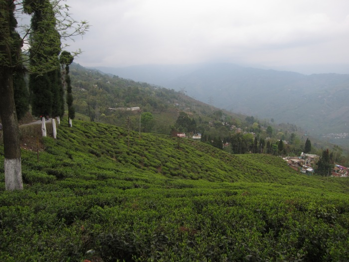 Thurbo Tea Estate, Mirik, Darjeeling District.