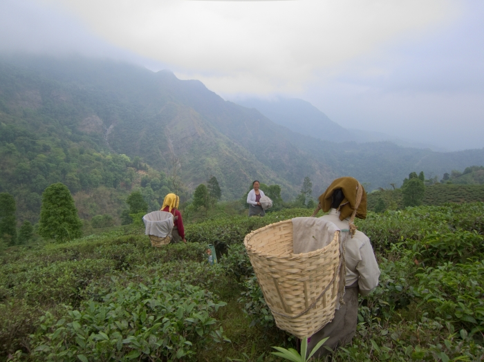 Tea Pluckers, Makaibari Tea Estate.