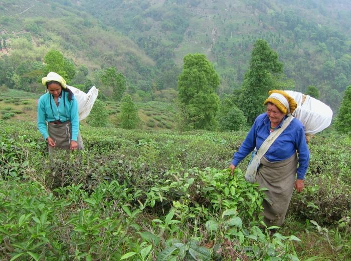 Tea pluckers at Makaibari Tea Estate.