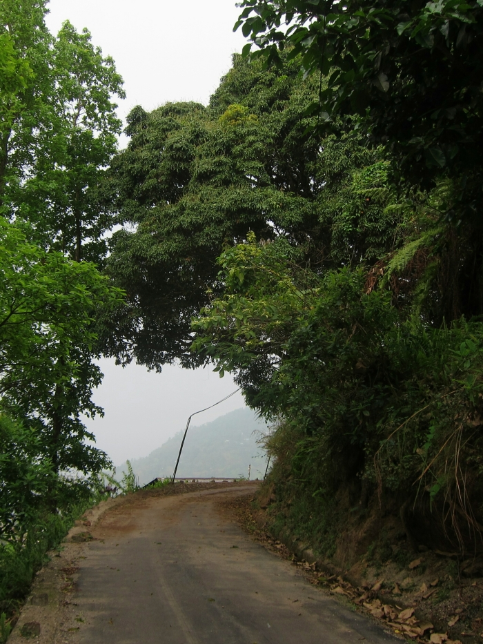 Mango tree overhanging the road.